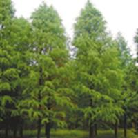 上海苗圃低价出售2-10公分东方杉