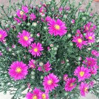 供应香彩雀、荷兰菊、长春花、五星花、石竹、五色梅、鸡冠花