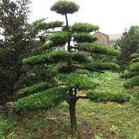 别墅景观树,造型树 ,盆景,罗汉松,榆树,小叶女贞,红花继木