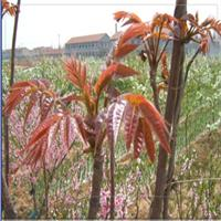 大棚红香椿苗基地山东的香椿苗大棚基地