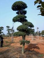 柞树2供应/柞树2图片