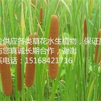 各类水生植物 花叶香蒲 香蒲 浙江水生植物*家