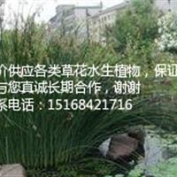 【保证质量低价】大量供应水葱 花叶水葱 金叶水葱