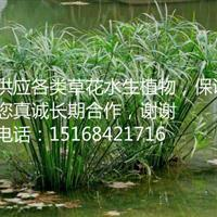 【低价供应】【保证质量】供应旱伞草 水竹 狼尾草 狐尾藻等