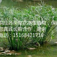 【低价促销】【全国配送】大量供应 细叶莎草