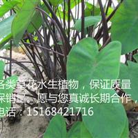 【全国物流配送】【低价供应】紫芋 可发工地,可食用药用