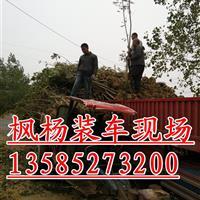 枫杨基地价格,2-3-4-5-6公分枫杨批发价销售,枫杨价格
