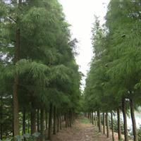 大量提供湖南优质落羽杉