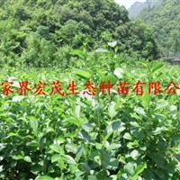 江南桤木张家界最新价格供应2015年