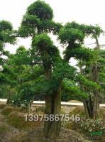 柞树供应/柞树图片