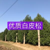 ★★★西安优质白皮松直销★★★