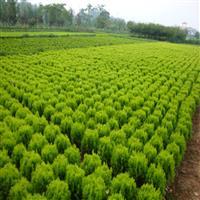 供洒金柏,洒金柏球,洒金柏基地,绿篱,花木工程苗,色块苗