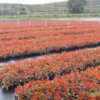 批发红叶石楠,红叶石楠苗,红叶石楠绿篱,红叶石楠球