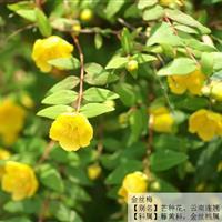 大量供应金丝桃,金丝梅,黄色花朵
