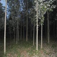 F1代杂交鹅掌楸,北美鹅掌楸,马褂木,乔木,高杆类,行道树