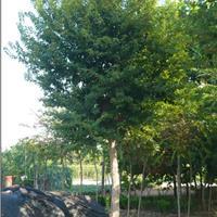 专供3公分-20公分五角枫,五角枫基地,枫树
