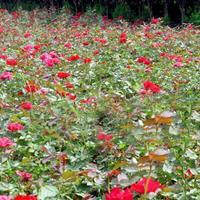 供应北京红帽月季,黄帽月季,丰花月季,盆栽月季