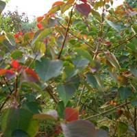 供应5-8-10-15-20公分红叶乌桕,乌桕,乌桕树