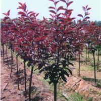 供应2-10公分紫叶矮樱,紫叶矮樱小苗