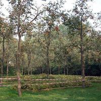 大量供应柿树,柿子树,果树,果园柿树,柿树苗