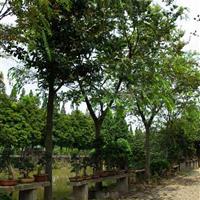 供应榔榆树,榆树,古树,榆树盆景,白榆,榆树基地