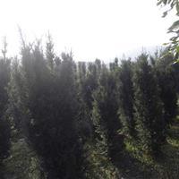 供应红豆杉,红豆杉盆景,曼地亚红豆杉,南方红豆杉,红豆杉基地