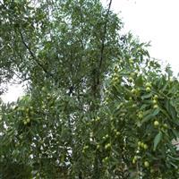 供应枣树,李子树,核桃树,山楂树,古树基地