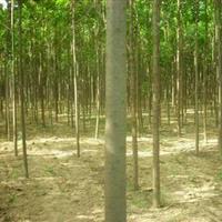 供应楸树,3-20公分楸树,楸树基地