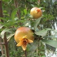 供应石榴树,花石榴,果石榴树