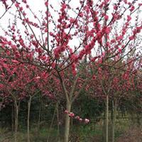大量供应红叶碧桃,红叶桃,红叶桃小苗,红叶碧桃基地