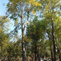 直销榉树,野生榉树,青榉树,红榉树,白榉树,榉树苗
