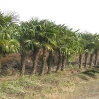批发棕榈,棕榈树,棕榈苗,大棕榈,棕榈产地