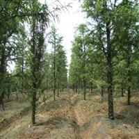 供应水杉,水杉树,水杉树苗,2公分-20公分水杉