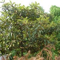 供应枇杷,琵琶树,1-10公分枇杷基地
