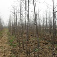 产地供应1-20公分白蜡,绒毛白腊,白蜡树