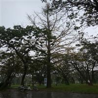 供应5-30公分黄连木,野生黄连木,苗圃移植黄连木