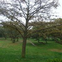 批发1-60公分银杏,银杏树,银杏树苗,银杏基地