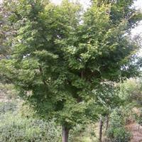 批发1-15公分鸡爪槭,鸡爪槭苗,鸡爪槭基地