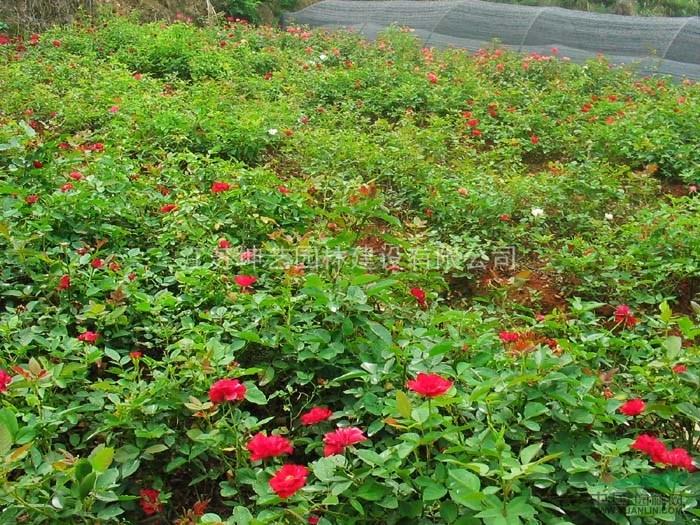 批发蔷薇,藤本蔷薇,大花蔷薇,蔷薇基地,有刺蔷薇,无刺蔷薇