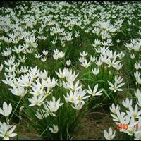 供应葱兰,葱兰草,葱兰草基地