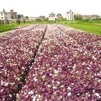 供应紫叶酢浆草 红花酢浆草 红花草
