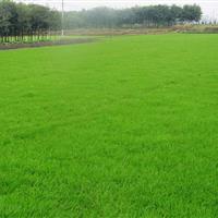 马尼拉草坪,*新马尼拉报价,马尼拉草皮,草坪基地直销