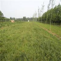 供应日本矮麦冬,日本矮麦冬草,矮麦冬基地