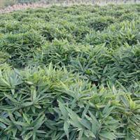 批发箬竹 箬竹苗 箬竹基地 箬竹产地