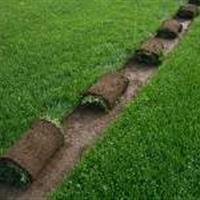 石家莊草坪基地早熟禾草坪、高羊茅草坪、馬尼拉草坪