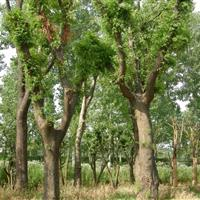 最新5公分皂荚树价格・5公分皂角最新价格・紧急5公分皂角树价
