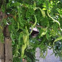 紧急米径5公分皂角・急售5公分皂荚树价格・山西皂角树价格供应