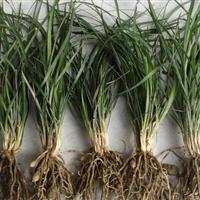 阔叶麦冬草多少钱一斤