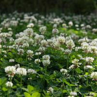 贵州省 草坪种子 白花三叶草沿阶草 草皮 草种