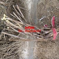 葡萄苗基地批发赤霞珠葡萄苗品种多质量好